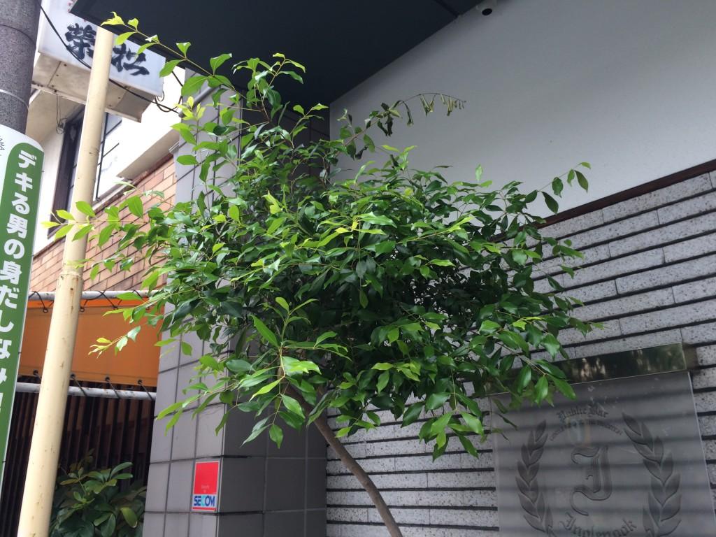 イングルヌック様プランター植栽アクメナ1