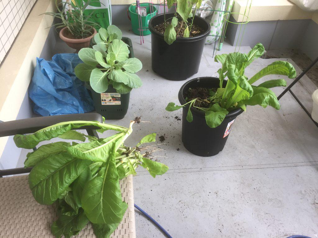 マンションベランダで小松菜収穫2