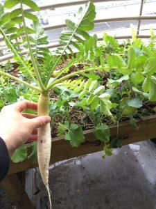 青首大根の収穫