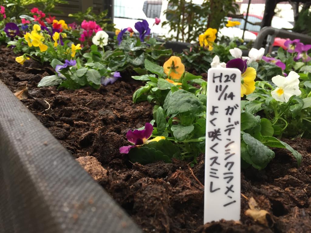 ガーデンシクラメン・よく咲くスミレ